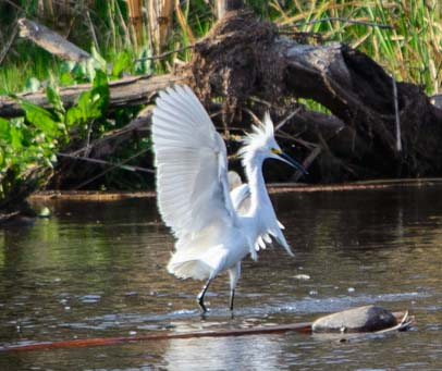 Snowy egret posing
