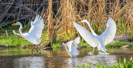 Snowy egret and great egret