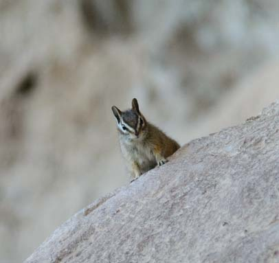 Chipmunk peeks around corner