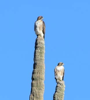 Osprey on saguaro cactus