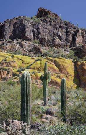 Three saguaros and lichen on cliffs on Usery Wind Cave hiking trail