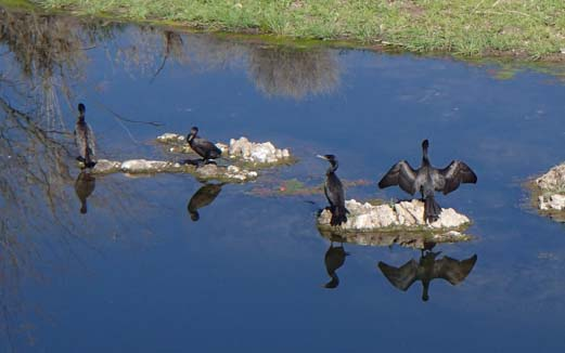 Cormorants by the river