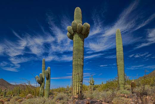 Triplet saguaro cactuses