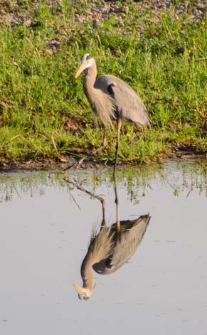 Blue heron checks his reflection
