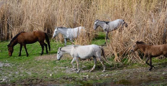 Wild horses walking through reeds