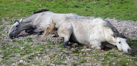 Feral horses lying down