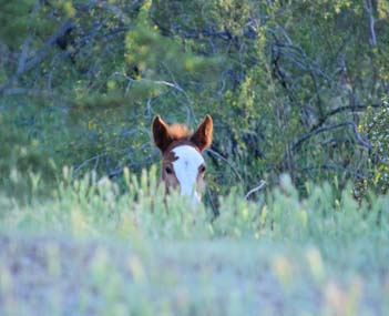 Wild colt peeks up out of grass