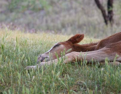 Salt River wild colt snoozes