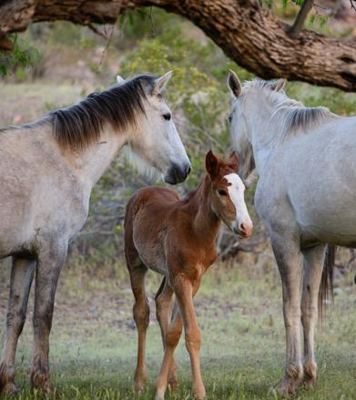 Salt River's feral horses