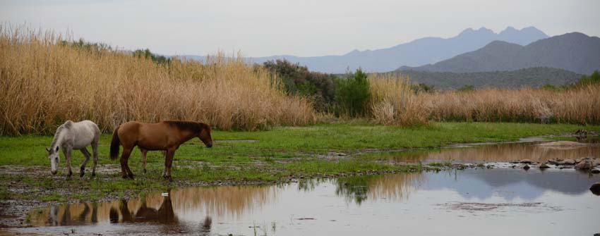 Wild horses of the Salt River by Four Peaks