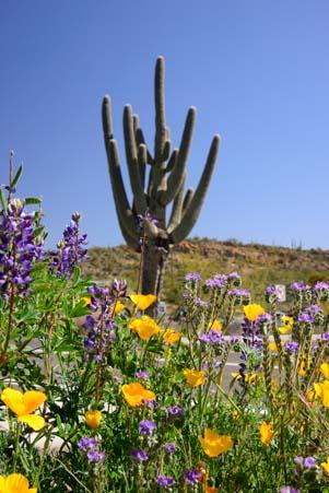 Saguaro and flowers at Boyce Thompson Arboretum
