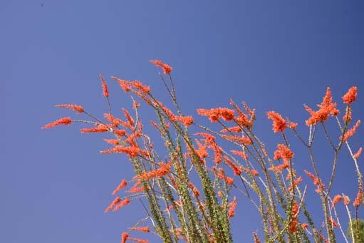 Flaming ocotillo flowers