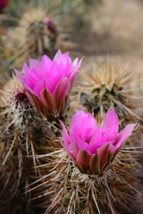 Hedgehog cactus flower
