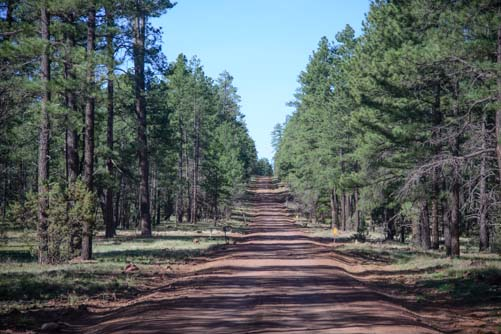Ponderosa pine forest on Schnebly Hill Road Arizona
