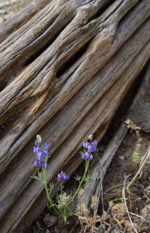 Saguaro cactus ribs and lupine flowers