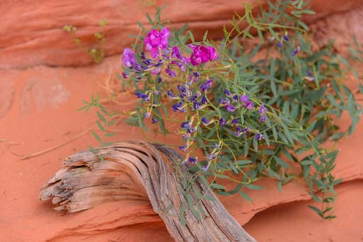 Wildflower in the red sand of Wire Pass Hiking Trail Vermillion Cliffs AZ