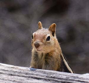 Chipmunk at the Head of the Metolius River