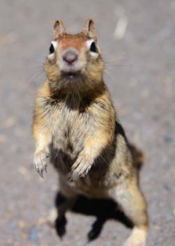 Chipmunk begging at Metolius River Oregon