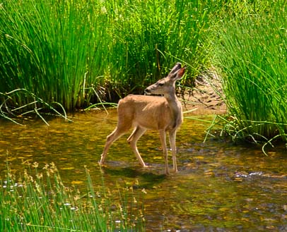 A deer in the Crooked River Smith Rock State Park Oregon