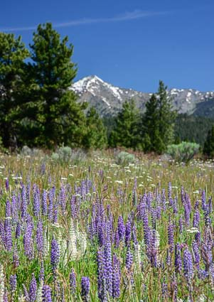 Meadow of Lupine Sumpter Oregon