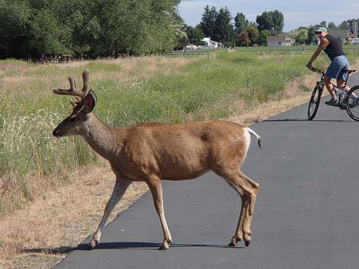 Deer crossing Adler Path Baker City Oregon