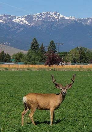 Young buck Baker City Oregon