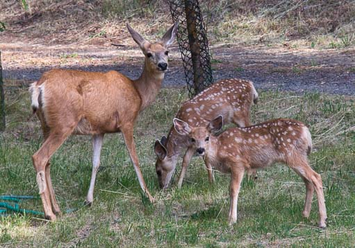 A deer and two fawns in Joseph Oregon