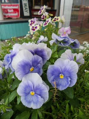 Pansies in a garden in Sun Valley Idaho
