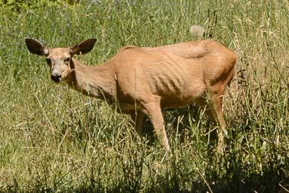 Skinny Mule deer
