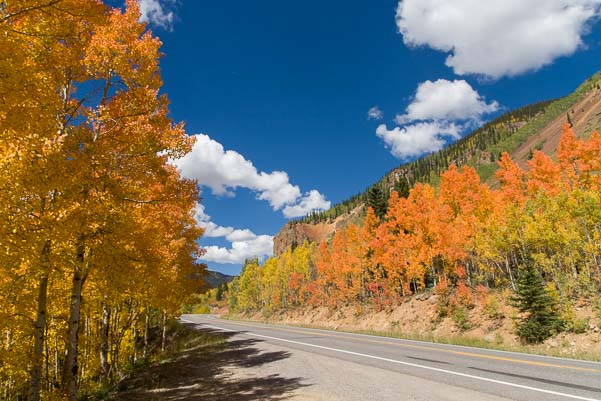 Bright orange aspen trees in Colorado