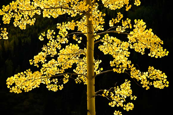 Golden aspen in autumn