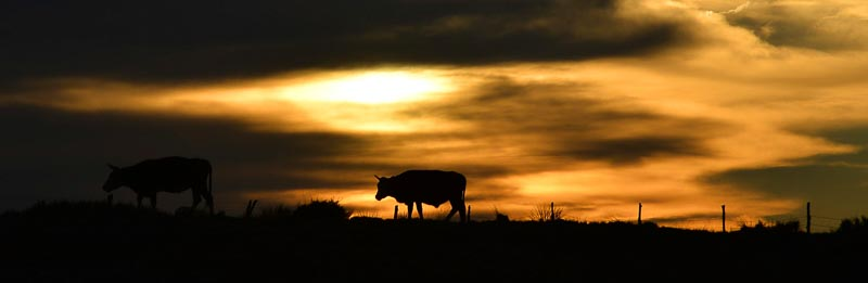Cow silhouette_