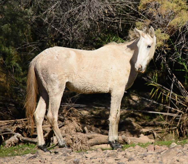 Blonde wild horse of the Salt River in Phoenix Arizona