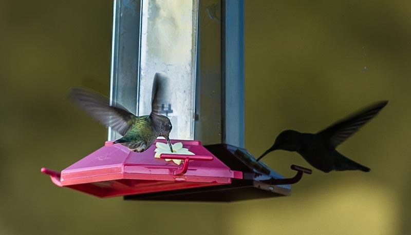 Hummingbird and his reflection