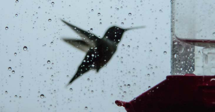 Hummingbird at our feeder in the rain
