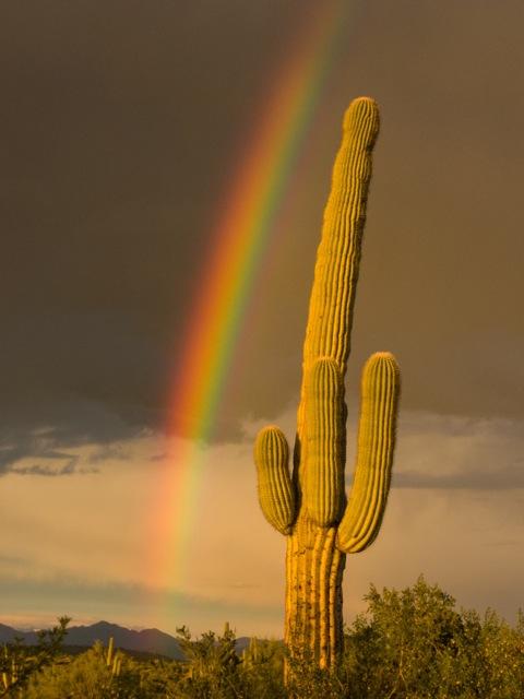 Desert Rainbow over saguaro cactus