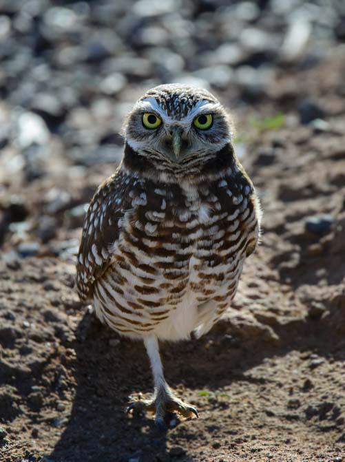 Burrowing owl Zanjero Park Gilbert AZ