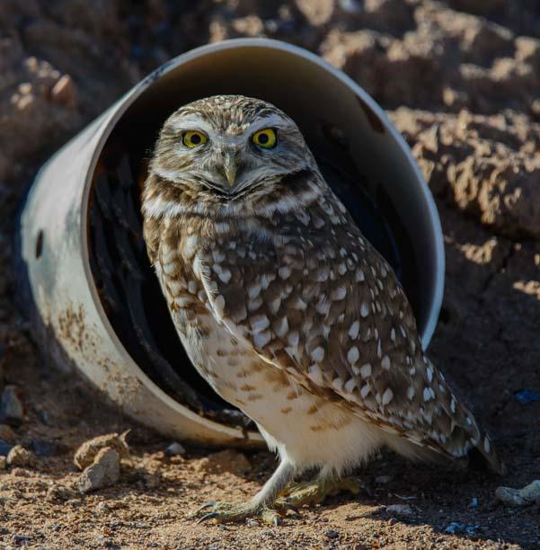 A burrowing owl at Zanjero Park in Gilbert AZ