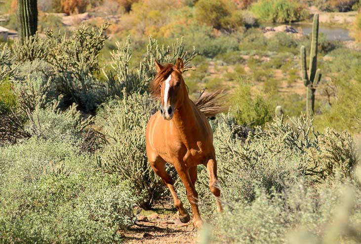 Wild horse in the Sonoran desert Arizona