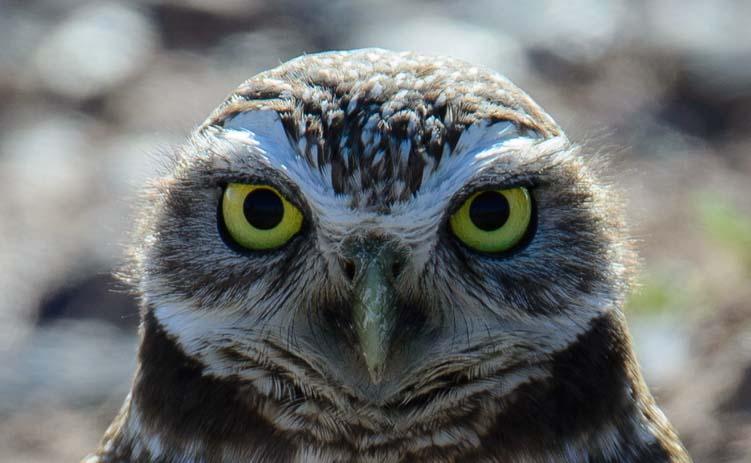 A burrowing owl in Phoenix Arizona