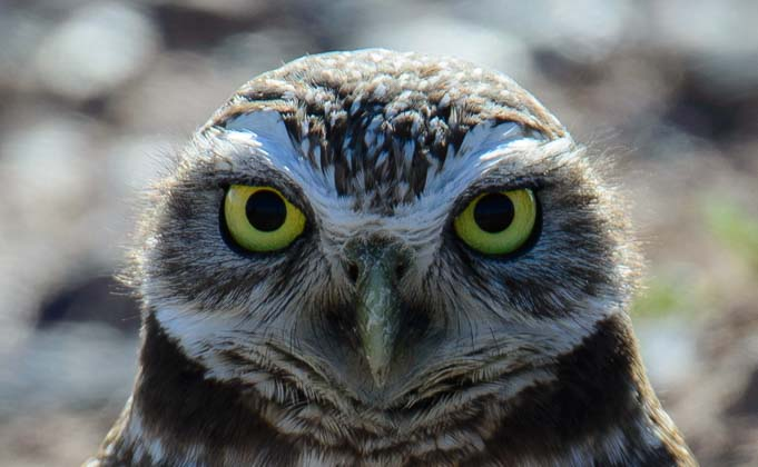 Burrowing Owls In Gilbert Arizona They Re A Hoot