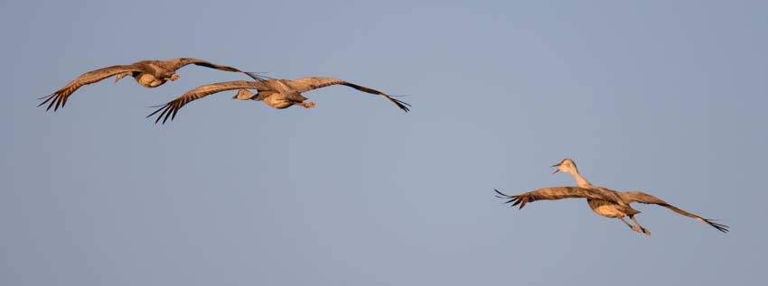 Sandhill cranes flying