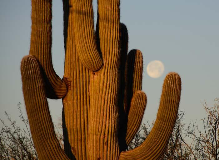Saguaro cactus balancing a full moon