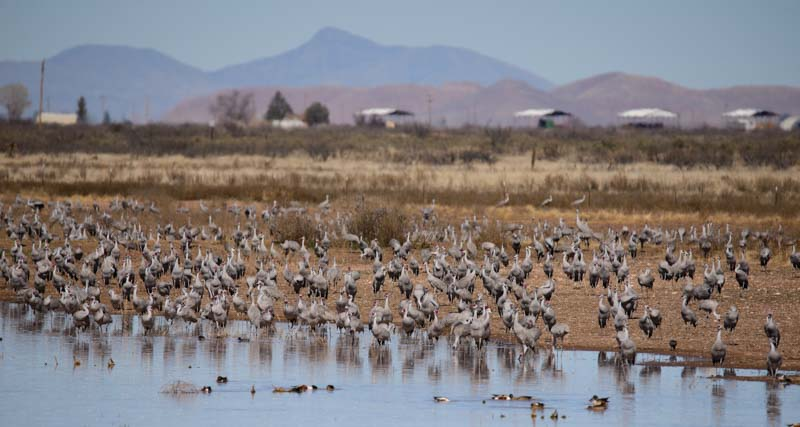 Sandhill cranes at a pond