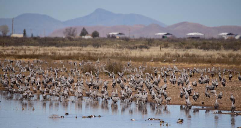 Sandhill cranes at a pond