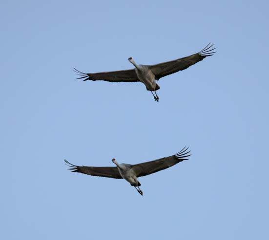 A pair of sandhill cranes flies overhead