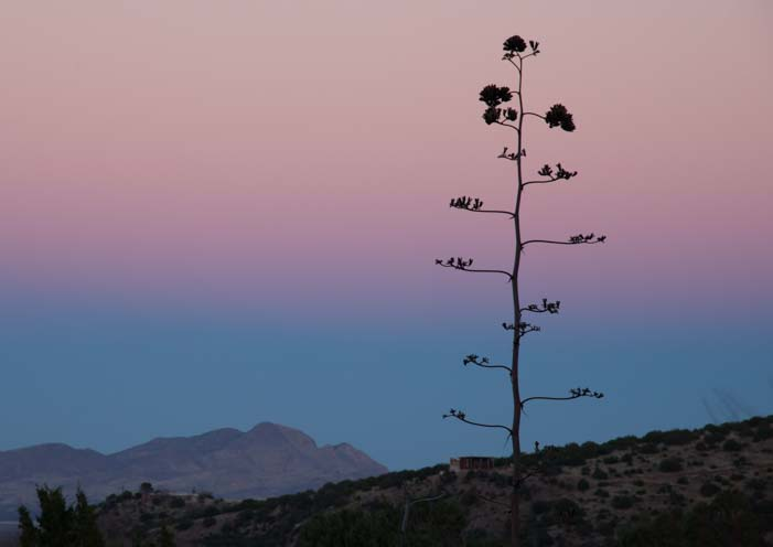 Pink and blue sunset with century plant in Arizona
