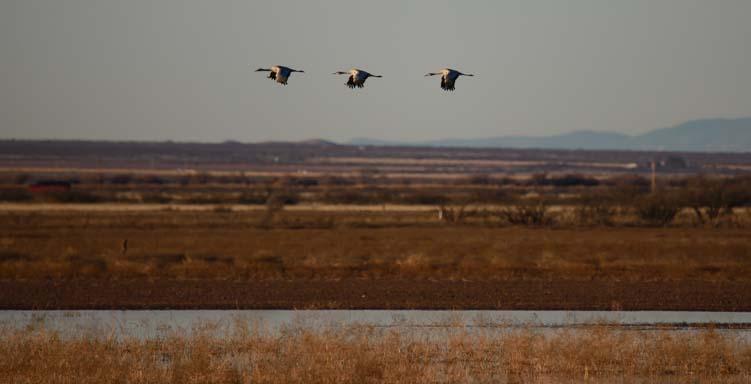 Three sandhill cranes fly over farmland in southeastern Arizona