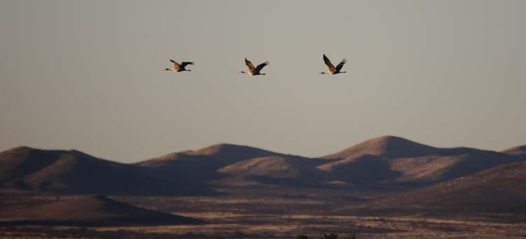Three sandhill cranes flying over Whitewater Draw Arizona