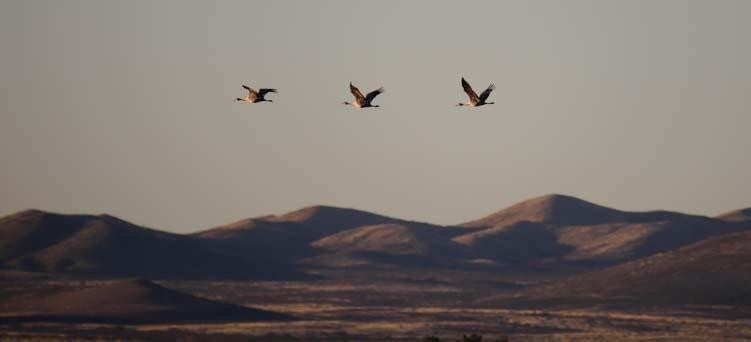 Three sandhill cranes flying over Whitewater Draw Arizona